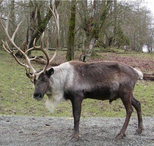 reindeer1-1