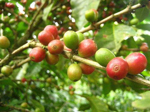 coffee_nicaragua_berries